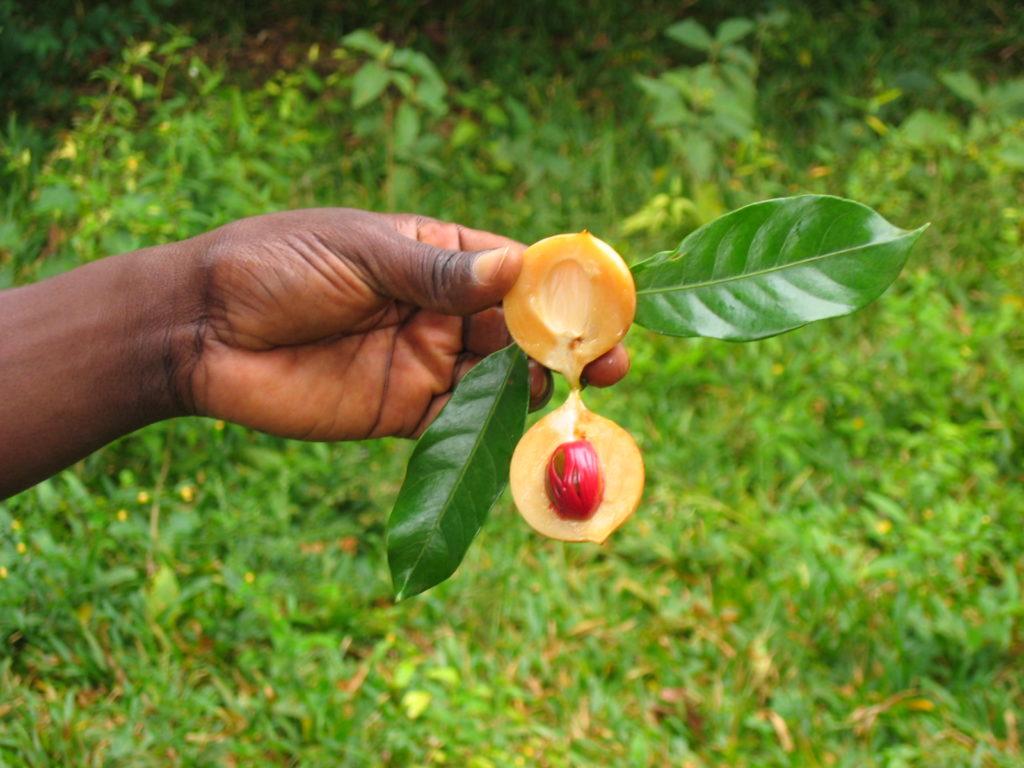 Zanzibar Spice Tour - Nutmeg