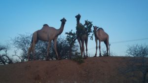 Picture: 3 Camels 300x168 Garissa
