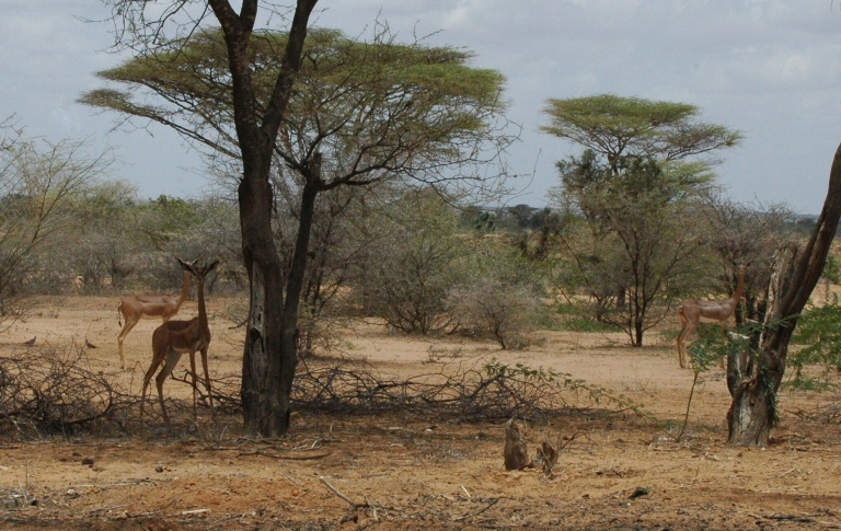 Gerenuks (Giraffe Gazelles) in the Garissa Giraffe Sanctuary