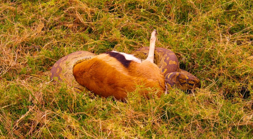 Amboseli Rock Python and Thomson Gazelle
