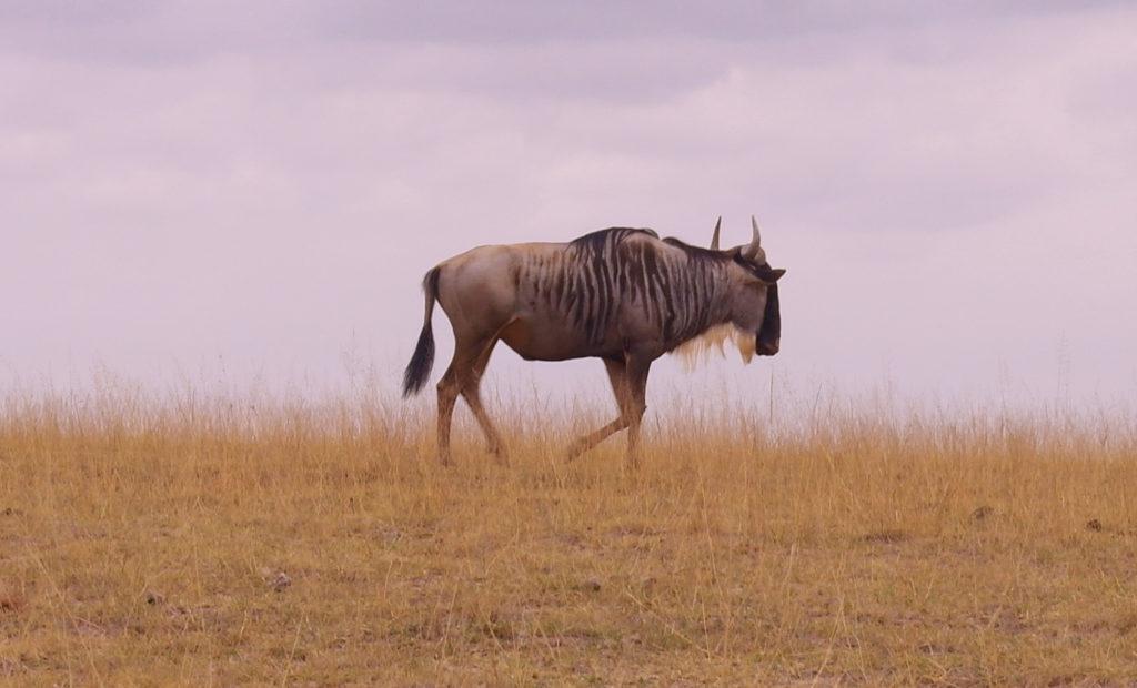 Amboseli - Wildebeest