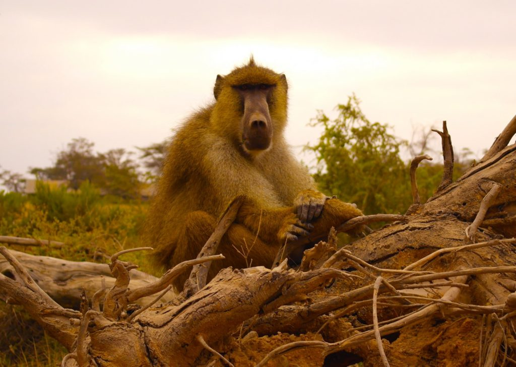 Amboseli - monkey