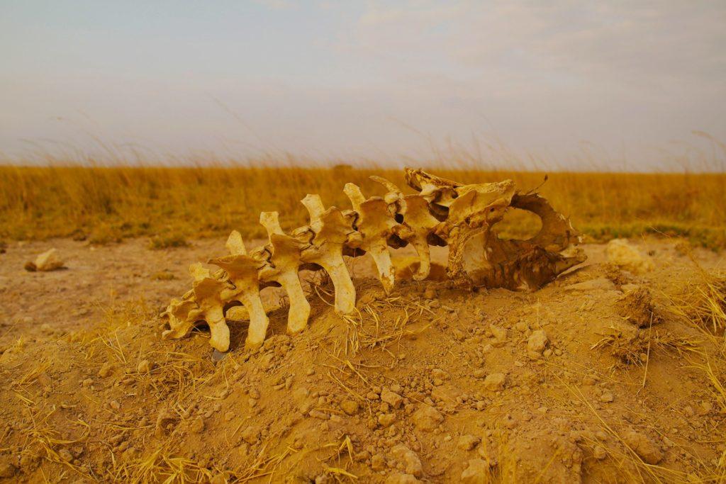 Amboseli - skull