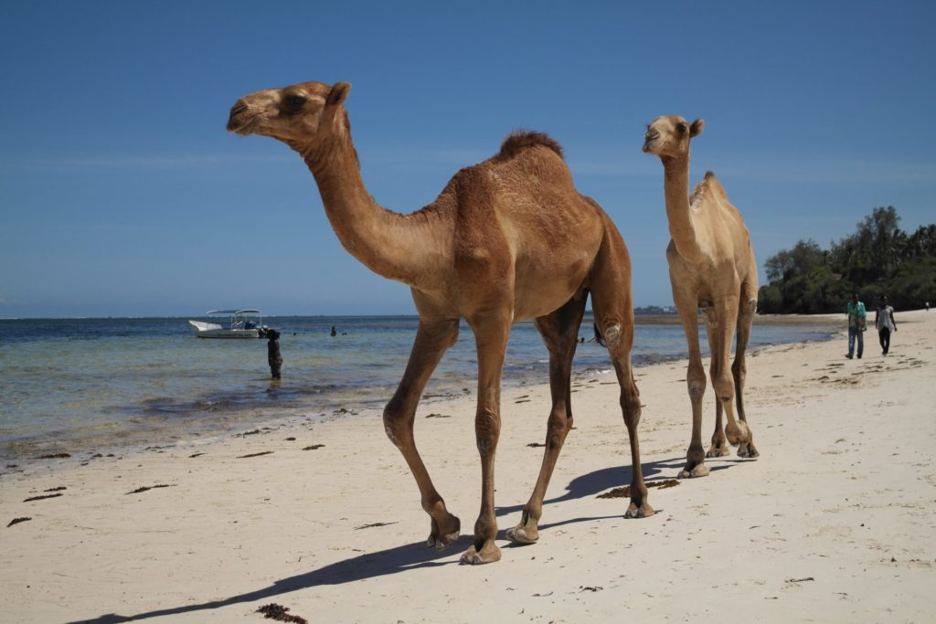 Camels on the beach in Mombasa