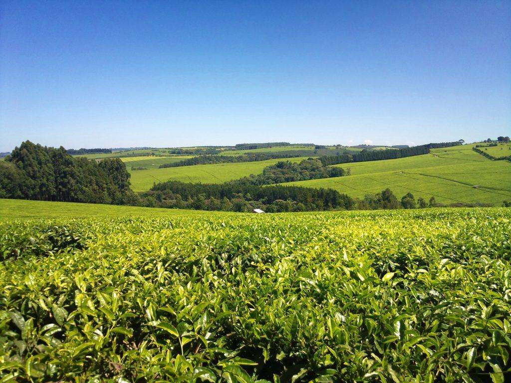 Finlays Tea Estate - Kericho
