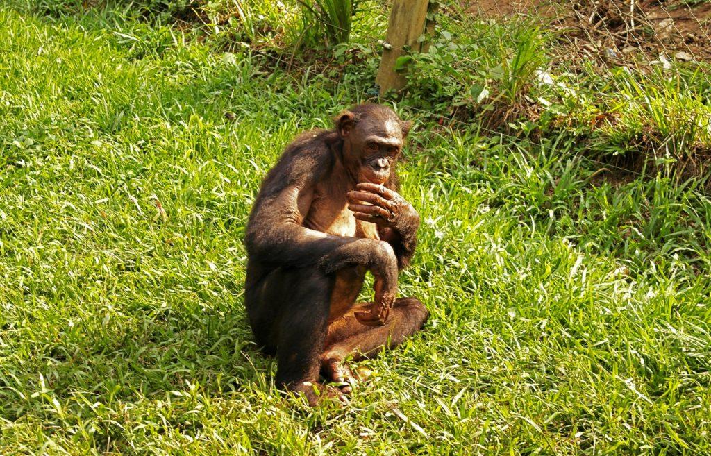 Kinsahsa - Bonobo sanctuary