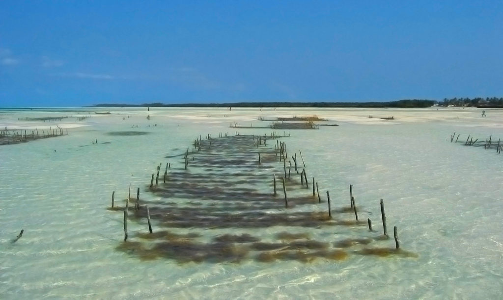 Seaweed Farm in Jambiani, Zanzibar. Seaweed farming is a cornerstone of the local economy
