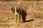 Tsavo - Monkey along the road