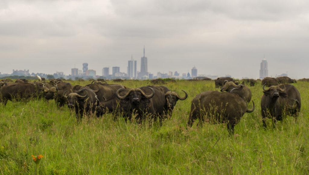 Nairobi National Park – Buffalos in front of the Nairobi skyline