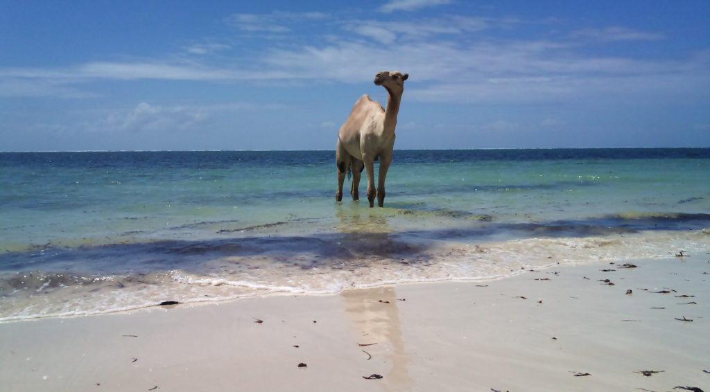 Camel in the sea