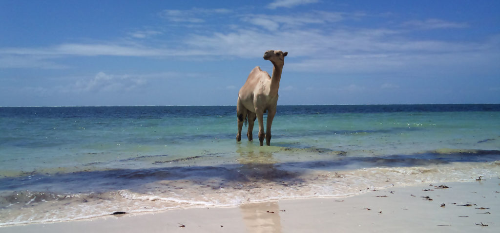 Camel in the sea 2